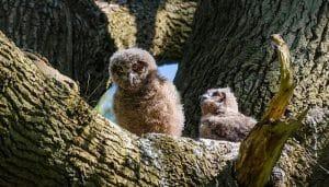 Polluelos Búho Real (Bubo bubo) en un árbol