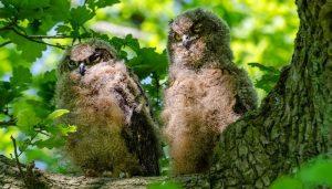 Polluelos de Búho Real (Bubo bubo)