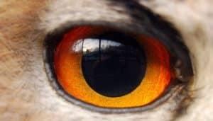 Detalle de un ojo de búho real