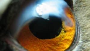 Primer plano del ojo de un ejemplar de Búho real