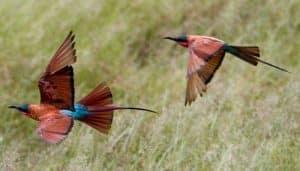 Abejaruco carmesí del sur (Merops nubicoides)