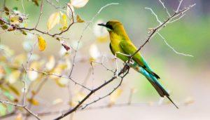 Abejaruco coliazul o de cola azul (Merops philippinus)