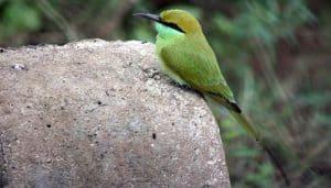 Abejaruco esmeralda (Merops orientalis)