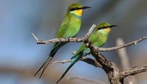 Abejaruco golondrina (Merops hirundineus)