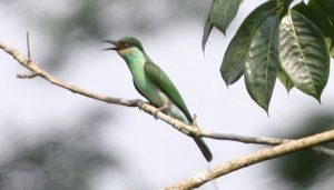 Abejaruco gorgiazul o de garganta azul (Merops viridis)