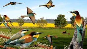 Ilustración del abejaruco europeo o abejaruco común (Merops apiaster)