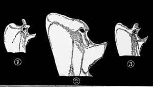 Huesos del abejaruco europeo o abejaruco común (Merops apiaster)