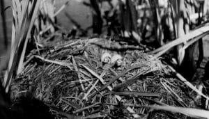 Nido y crías del zampullín de pico grueso (Podilymbus podiceps)