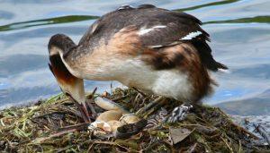 Somormujo lavanco (Podiceps cristatus) en su nido.