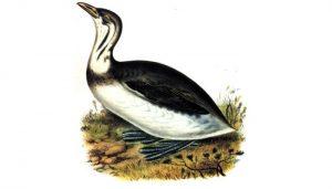 Dibujo del zambullidor pico grueso (Podilymbus podiceps)