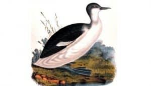 Ilustración del somormujo cuellirrojo (Podiceps grisegena)