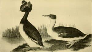 Ilustración del zampullín cuellirrojo (Podiceps auritus)