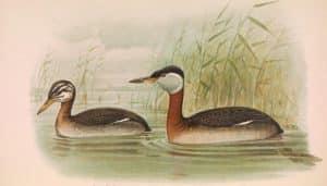 Ilustración somormujo cuellirrojo (Podiceps grisegena)