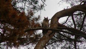 Búho Chico (Asio otus) a lo alto en unas ramas
