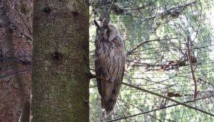 El Búho Chico (Asio otus) en la naturaleza