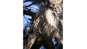 Excelente Búho Chico (Asio otus) en una rama