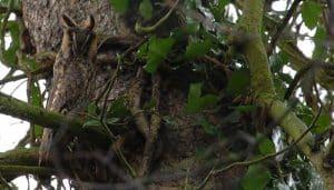 Excelente camuflaje del Búho Chico (Asio otus)