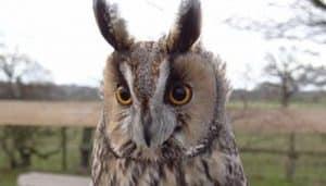 Hermoso Búho Chico (Asio otus) con sus famosas orejas de plumas