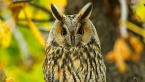 Búho Chico (Asio otus) con sus orejas de plumas