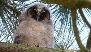 Búho Chico (Asio otus) joven en un árbol