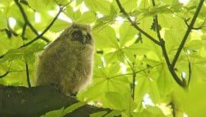 Cría de Búho Chico (Asio otus) en una rama