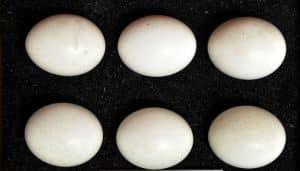 Huevos de los Búhos Chico (Asio otus)