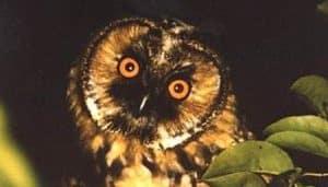 Búho Chico (Asio otus) de noche en la naturaleza
