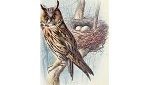 Ilustración del Búho Chico (Asio otus) y sus huevos