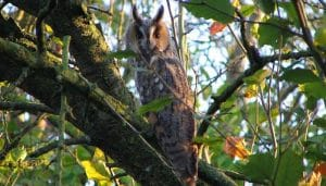 Búho Chico (Asio otus) en un árbol