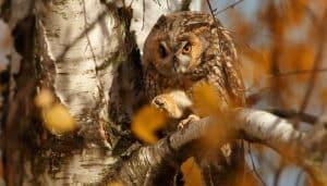 Búho Chico (Asio otus) quieto en un árbol
