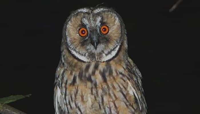 Búho Chico (Asio otus) visto de noche