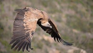 Ejemplar de Buitre Leonado (Gyps fulvus) volando