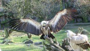 Buitre Leonado (Gyps fulvus) con sus alas extendidas