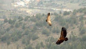 Dos Gyps fulvus volando en la naturaleza