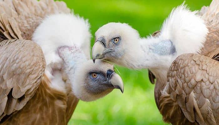Dos hermosos Buitres Leonado (Gyps fulvus)