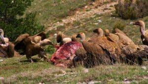 Grupo de Buitres leonados (Gyps fulvus)