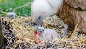 Buitre Leonado y su polluelo en un nido