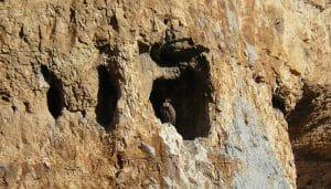 Buitre Leonado (Gyps fulvus) en la puerta de su nido