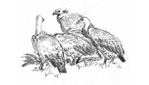 Dibujo de tres Gyps fulvus