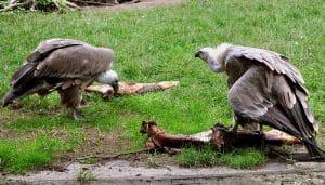 Buitres Leonado (Gyps fulvus) comiendo