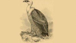 Ilustración del Buitre Leonado (Gyps fulvus)