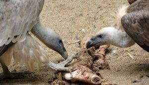 Dos Buitres Leonado alimentándose