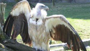 Buitre Leonado (Gyps fulvus) mostrando sus alas