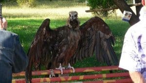 Buitre Negro (Aegypius monachus) mostrando sus alas