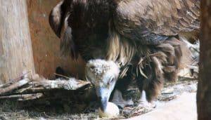 Buitre Negro (Aegypius monachus) cuidando su huevo