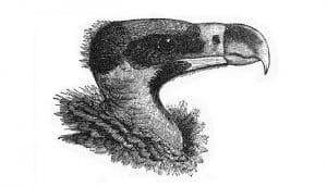 Dibujo de la cabeza de un Buitre Negro (Aegypius monachus)