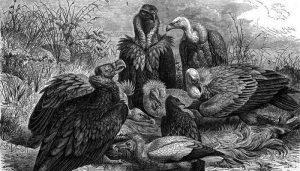 Dibujo de varios tipos de Buitres, se encuentra el Buitre Negro