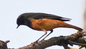 Colirrojo Tizón (Phoenicurus Ochruros) parado en la rama de un árbol