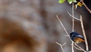 Un Colirrojo Tizón (Phoenicurus Ochruros) en una ramita