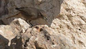 Colirrojo Tizón (Phoenicurus Ochruros) enre las rocas